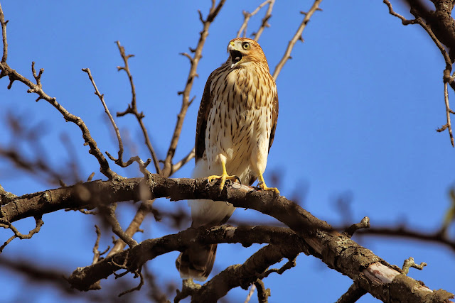 Immature Cooper's Hawk (Greg Piasetzki)