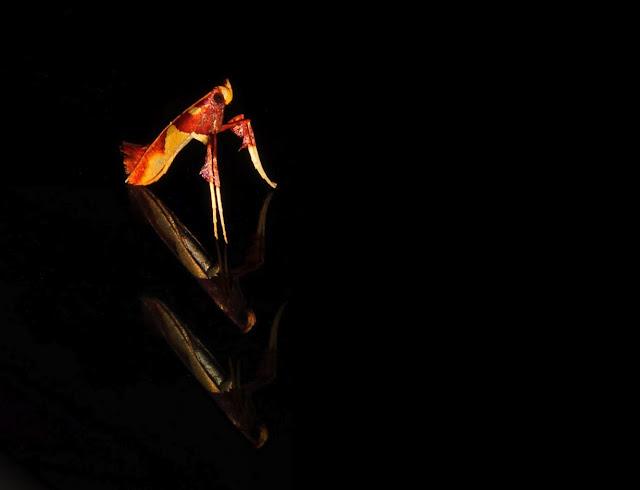 Gracillariidae : Gracillariinae : Caloptilia sp. (Caloptilia azaleella BRANTS, 1913 ?). Umina Beach (NSW, Australie), 23 octobre 2011. Photo : Barbara Kedzierski