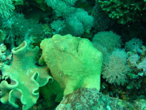 Photo: Antennaire vert à Taba en mer Rouge