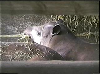 1998.09.09-022 tapirs terrestres