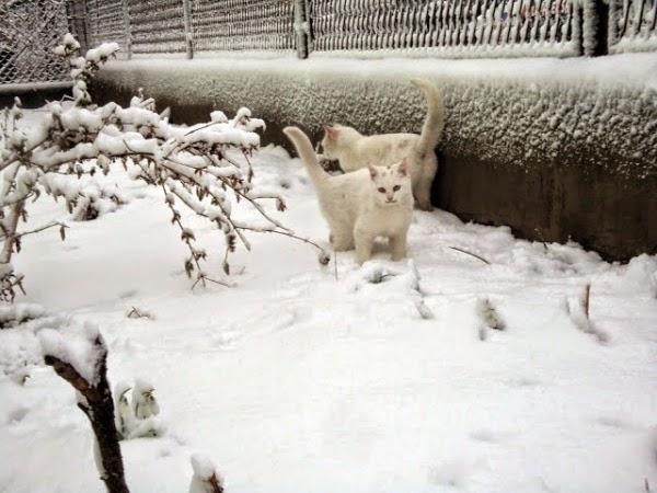 Белые кошки