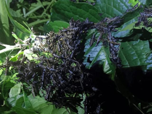 Locusts in Kirinyaga county. PHOTO | RMS