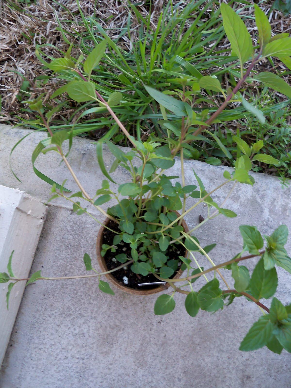 Gardening 2010 - 101_0213.JPG