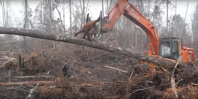 An orangutan tries to fight off a digger destroying its jungle home. International Animal Rescue released this video footage from 2013 showing the devastating impact of deforestation on orangutan habitat in Indonesia. Photo: International Animal Rescue