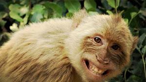 Monyet Serbu Kebun Petani, Satu Ekor Bisa Makan 3 Buah Kelapa Sehari