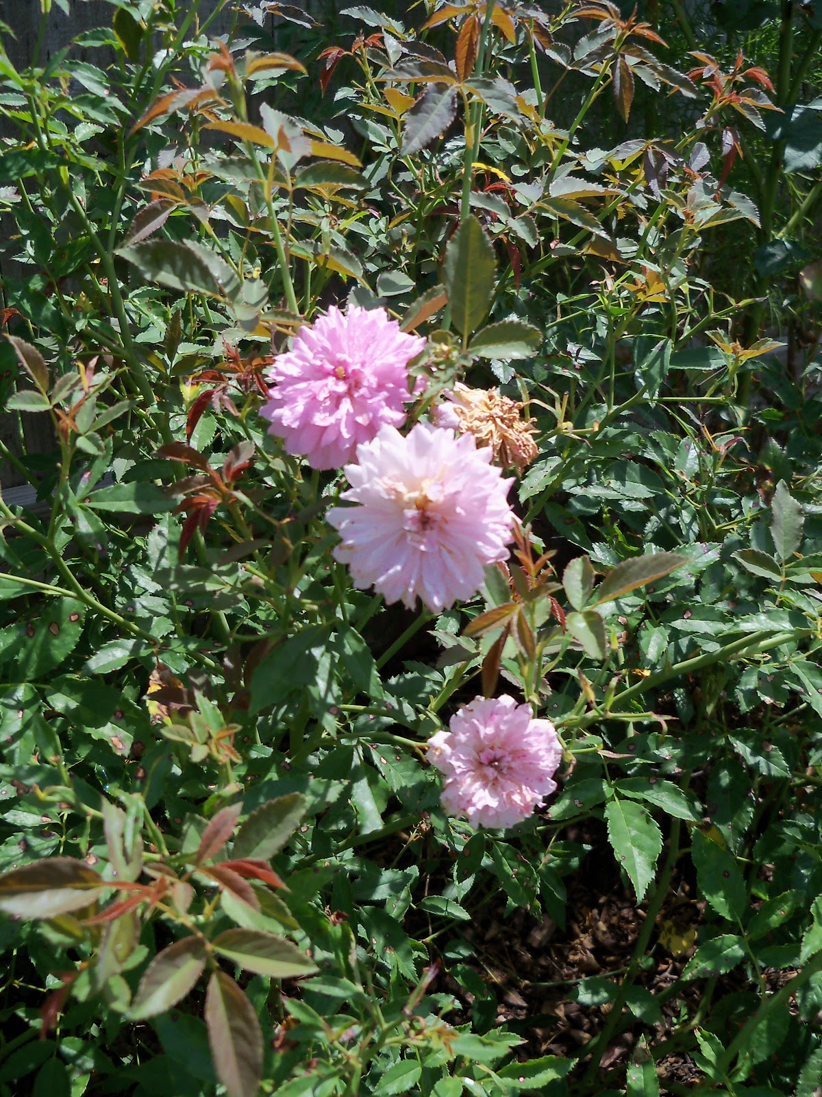 Gardening 2010, Part Three - 101_5086.JPG