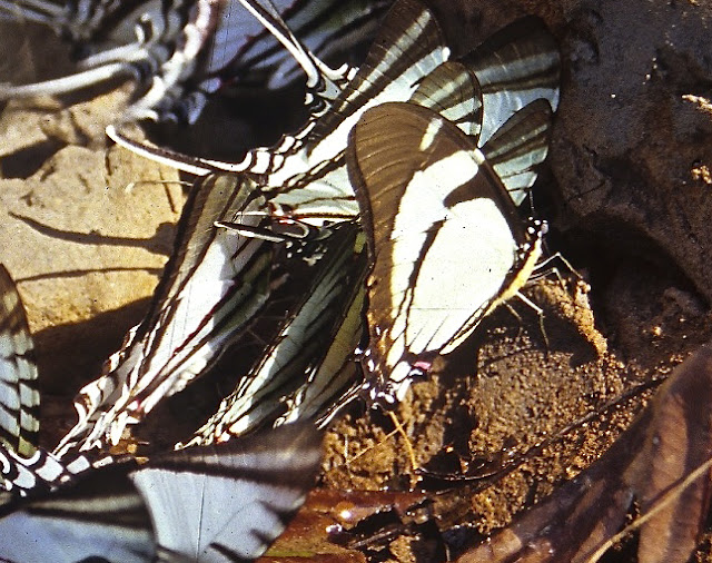 Leptocircini : Eurytides callias ROTHSCHILD & JORDAN, 1906. Rive de la Tambopata, TRC, août 2004. Photo : J.-M. Gayman