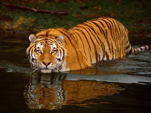 tiger%252520in%252520water.jpg