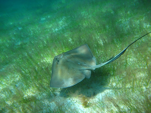 Southern Sting Ray. St Thomas Snorkeling.
