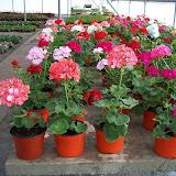 cultivo de plantas flo...