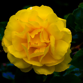 Yellow Rose by Jason Murray - Flowers Flower Gardens ( beautiful, contest, color, nature, yellow, nature up close, rose, garden, flower,  )