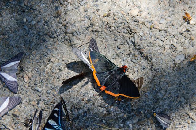 Pyrrhopyge phylleia phylleia HEWITSON, 1874. Nord de Coroico à 1000 m d'alt. (Yungas, Bolivie), 16 octobre 2012. Photo : C. Basset