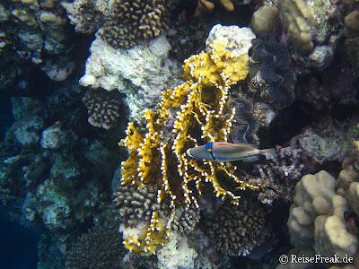 001 Picasso-Drückerfisch (Rhinecanthus aculeatus) Ägypten Dez 2014 - Marsa Alam - Coraya Bay IMG_0258