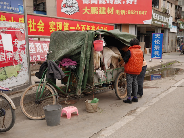 milking a goat on a tricycle cart in Jieyang