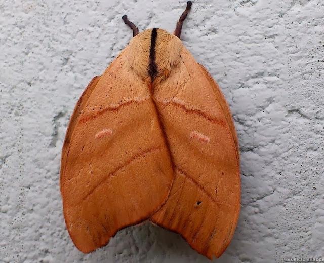 Hemileucinae : Hyperchiria incisa WALKER, 1855, mâle. Environs de Curitiba (Paraná), 31 octobre 2013. Photo : Mauricio Skrock