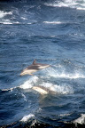 Dolphins Racing Our Boat (Navimag Boat Trip, Chile)