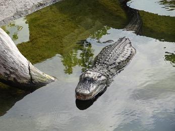 2018.08.25-056 alligator