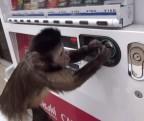 自販機でジュースを買って飲むサルが話題に