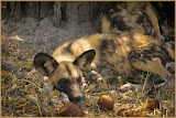 """Wild Dog of Africa"" by Jeanne Phelps -- 3d place Digital General A"