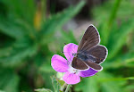 Chokoladebrun blåfugl, eumedon2.jpg