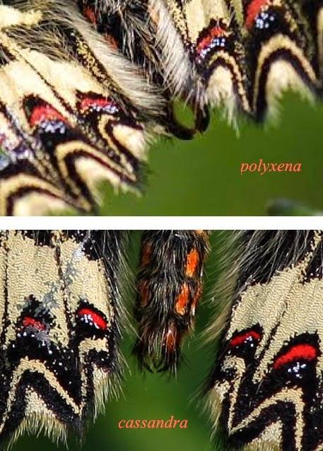 Comparaison des genitalia de Z. polyxena et Z. cassandra
