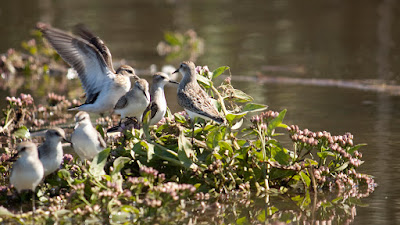 Hackensack Meadowlands Semipalmated Sandpipers. Photos by TOM HART. All rights reserved.