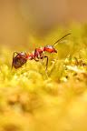 POILS AUX FESSES  Les fourmis rousses ne piquent pas. Pour se défendre, elle recroqueville son abdomen sous son thorax de façon à ce que son extrémité soit orientée devant elle et en l'air, et projette un jet d'acide formique jusqu'à 50 cm !