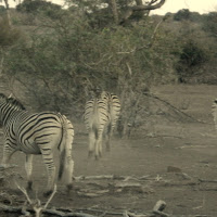 Tuli Block - Zebras !