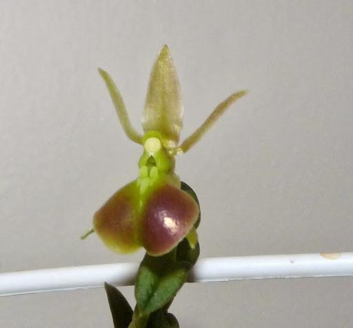 Epidendrum porpax P1370234