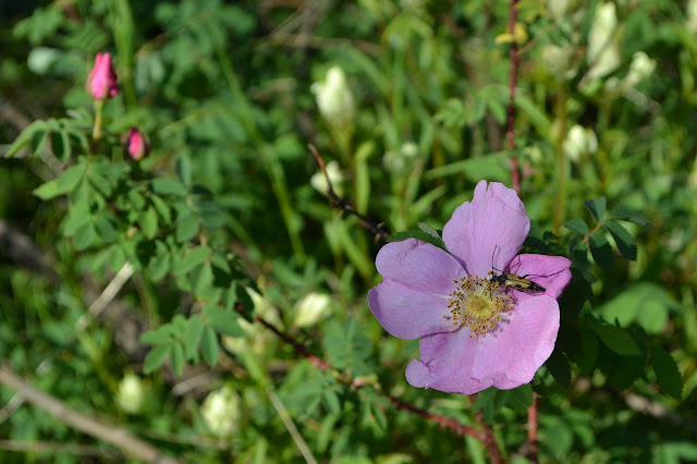 wild rose with a polinator