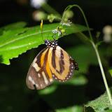 Lycorea cleobaea GODART, 1819. Caçandoca (Ubatuba, SP), 21 février 2011. Photo : J.-M. Gayman