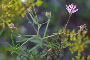 Small Palafoxia
