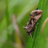 Noctuidae : Plusiinae : Autographa gamma (LINNAEUS, 1758). Hautes-Lisières (Rouvres, 28), 9 juillet 2012. Photo : J.-M. Gayman