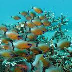 School of ring-tailed cardinalfish (Padangbai, Bali)