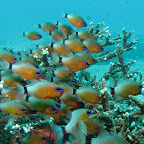 School of ring-tailed cardinalfish (Padangbai, Bali)
