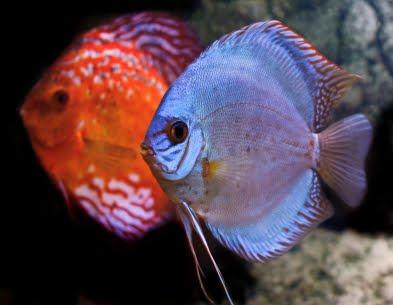 Wow Discus Fish Discuss Me