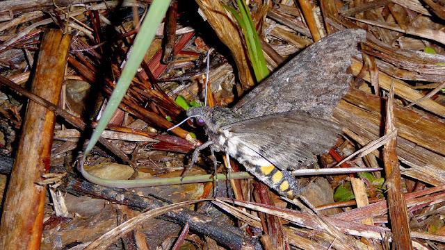 Sphingidae : Sphinginae : Manduca diffissa tropicalis (Rothschild & Jordan, 1903), femelle. San Juan, près de Caranavi, 1000 m (Yungas, Bolivie), 24 décembre 2014. Photo : Jan-Flindt Christensen