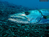 Portrait of a Barracuda - although I had to come very close to this 5 - 6 feet tall guy, it didn`t move (© 2009 Bernd Neeser)