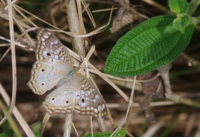 Anartia jatrophae jatrophae (Linnaeus, 1763). Finca La Graciela, 239 m (Tamarindo, Casanare, Colombie), 5 novembre 2015. Photo : J.-M. Gayman