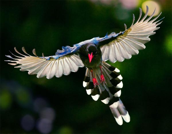 14 Most Beautiful Birds of the World - Formosan Magpie