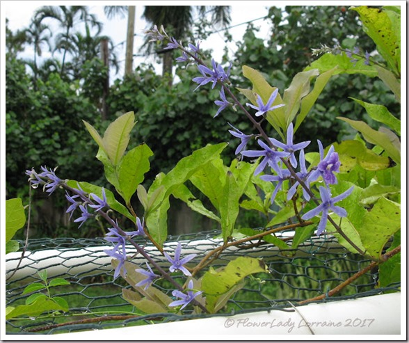 06-16-sandpaper-vine