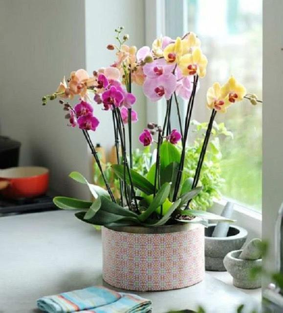 Orquídeas Phalaenopsis mariposas hogar interior
