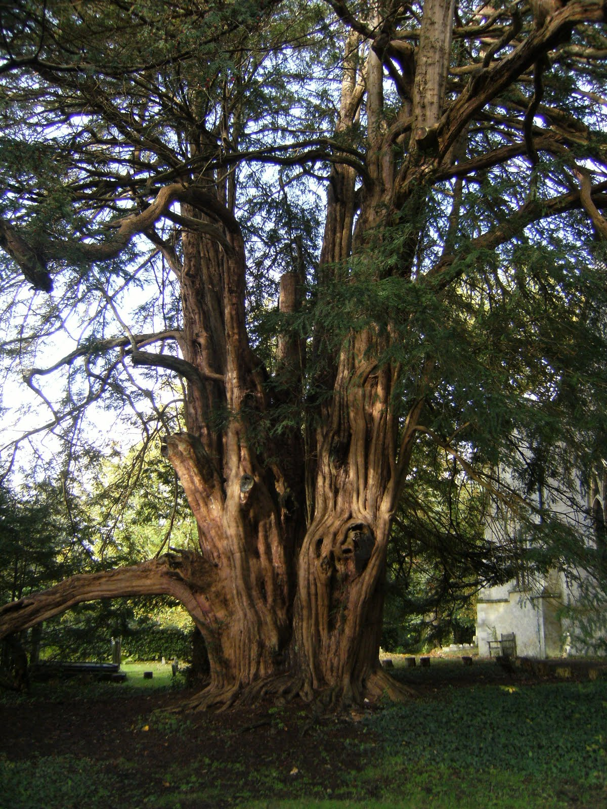 1010300048 Ancient yew in Tandridge churchyard