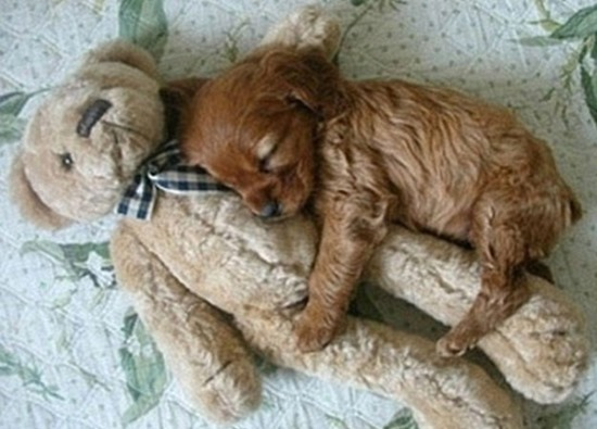 puppy sleeps with teddy bear