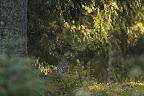AU BON ENDROIT AU BON MOMENT...?Poule tétras dans une pessière d'altitude, et la fraïcheur d'un matin d'automne