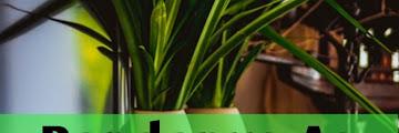 Pandanus As Natural Air Freshener