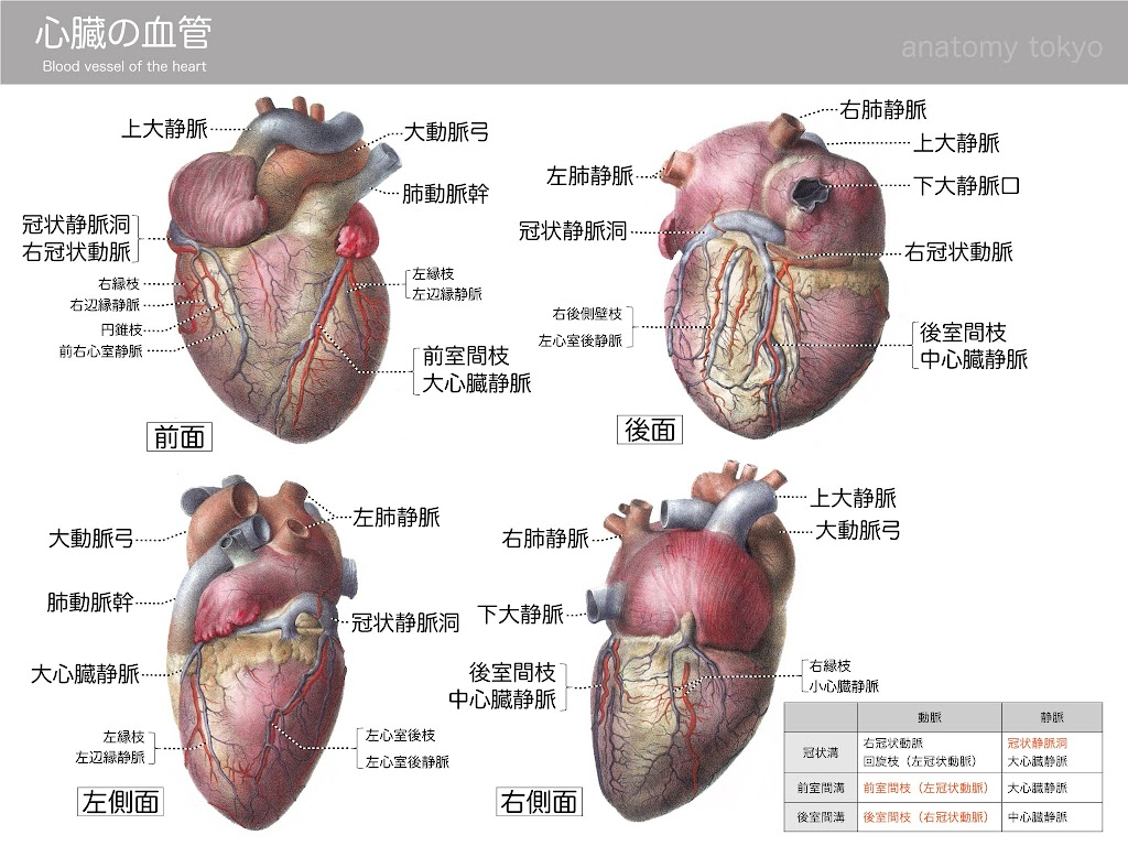 2013-h25-blood vessel of the heart.jpg