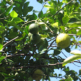 Tree Fruit - IMG_0913.JPG
