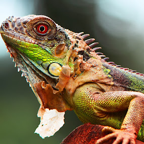 Iguana by Ajar Setiadi - Animals Reptiles