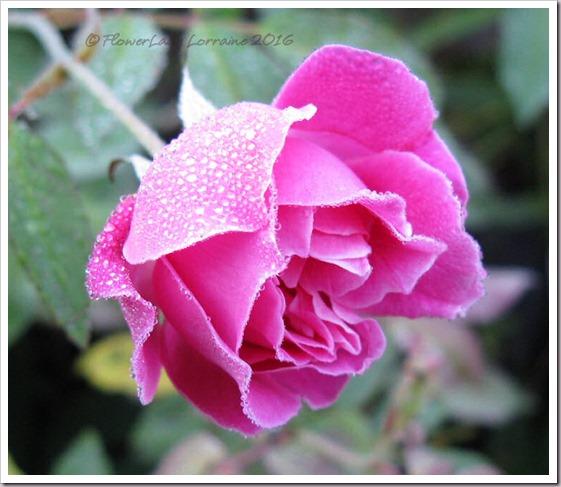 12-14-carnation